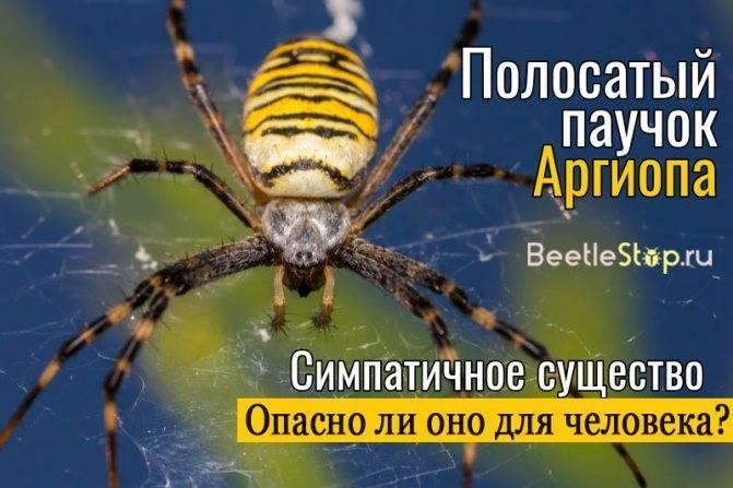 Ядовитые пауки россии: где водятся и как выглядят