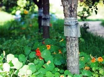 Ловчие пояса для плодовых деревьев сделать своими руками совсем несложно
