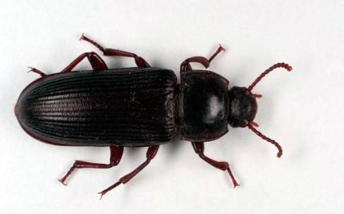 Как избавиться от мучного жука хрущака в квартире