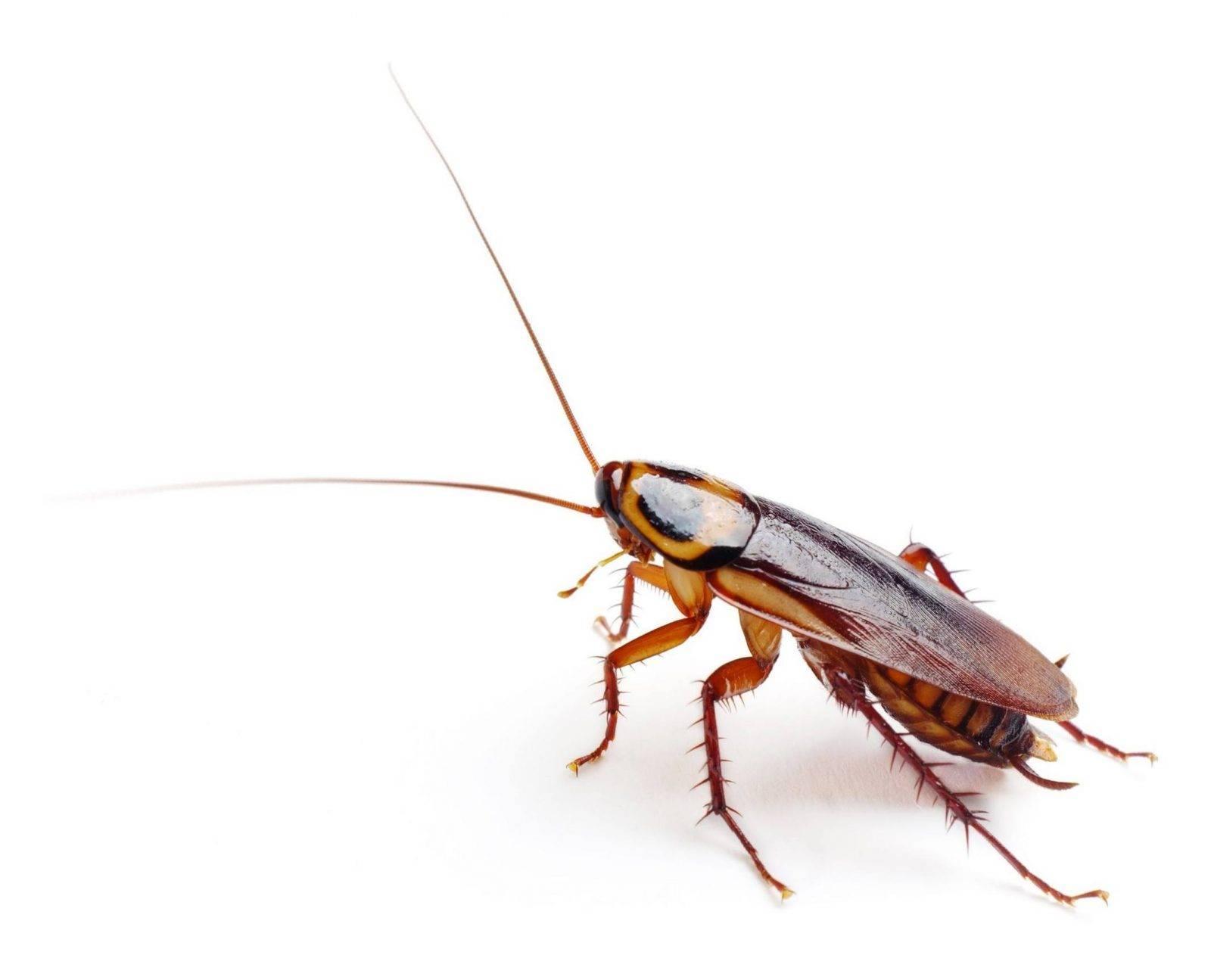 Домашний рыжий таракан