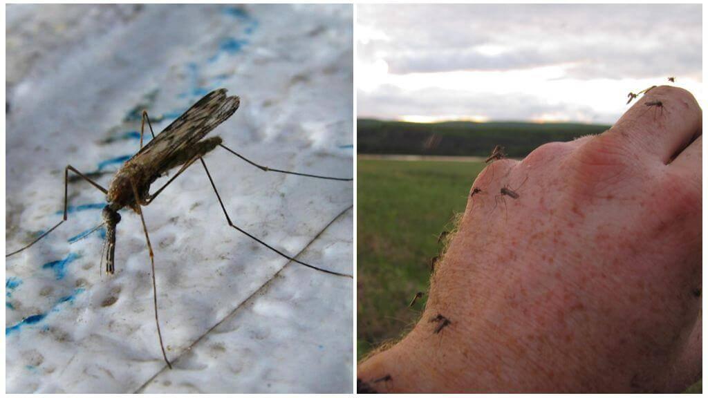 Зачем нужны комары в природе