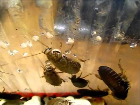 Чем кормить мраморных тараканов. развитие и жизненный цикл. чем мраморники выделяются среди других таракановых