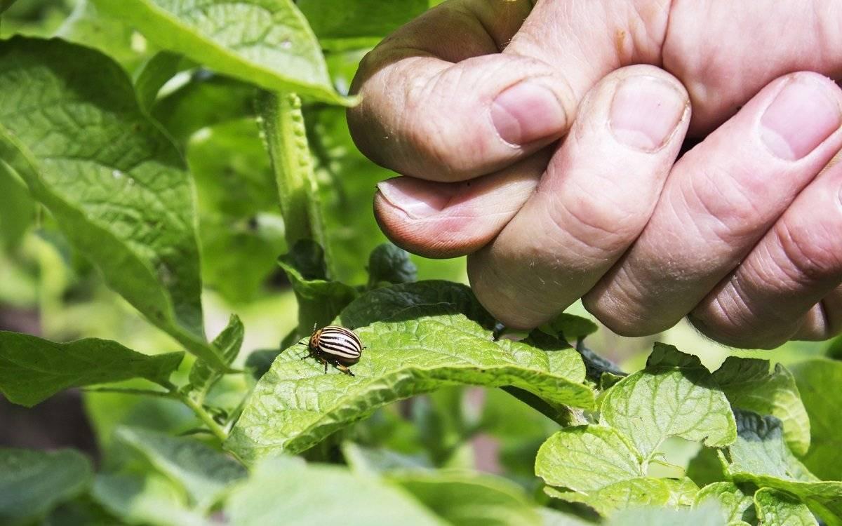 Проволочник в огороде: методы борьбы и профилактики