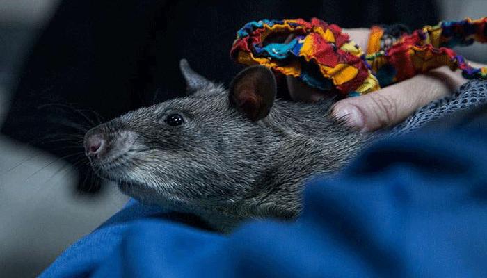 Гамбийская хомяковая крыса — групповой грызун