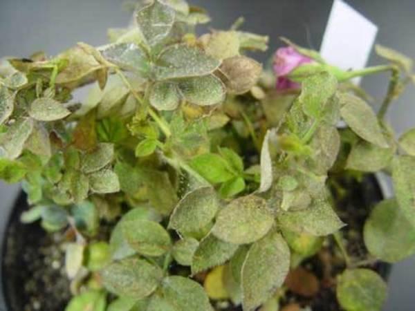 Как избавиться от паутинного клеща на розах?