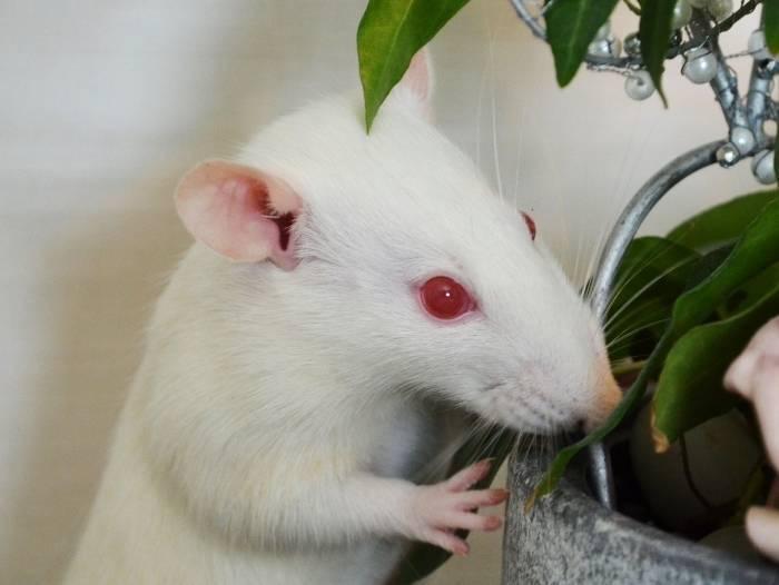 Сколько лет живут крысы: домашние и дикие грызуны
