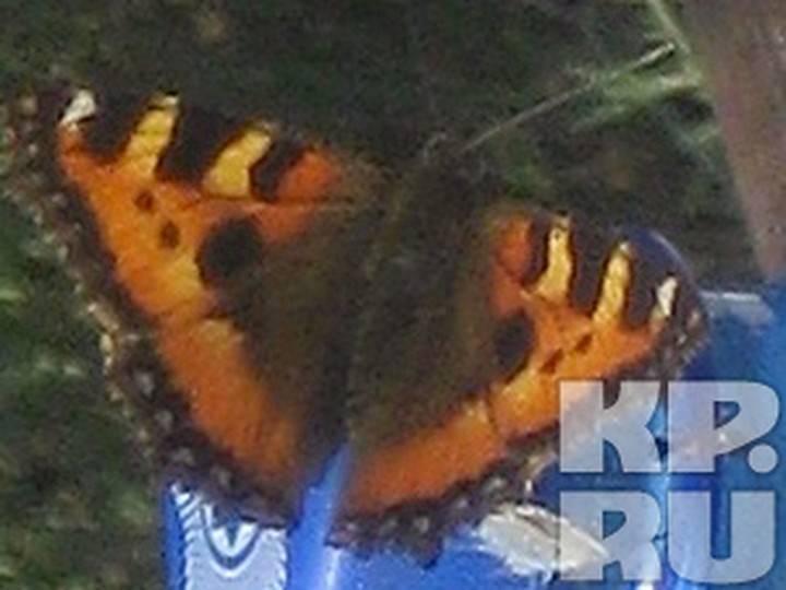 Как определить пол бабочки крапивницы