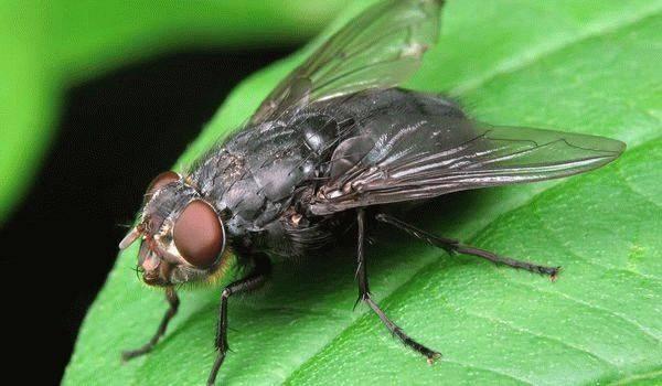 К чему снится мухи?