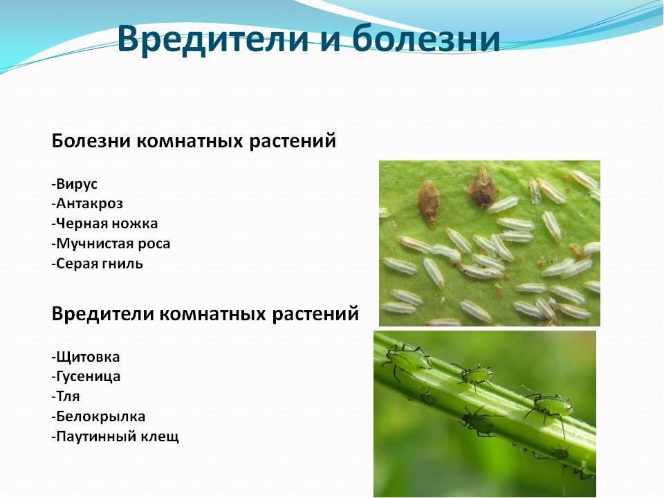 Комнатные цветы: болезни и лечение в домашних условиях