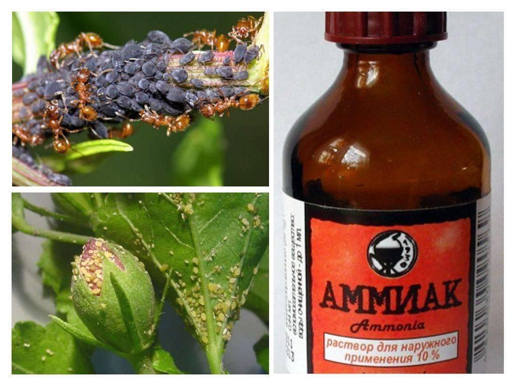 Использование нашатырного спирта в борьбе с мошками. нашатырный спирт: от комаров,тли, удобрение цветов и многое другое нашатырный спирт против насекомых