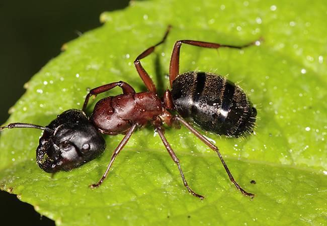 Древесные муравьи — вредители, как избавиться от них