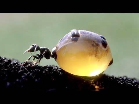 Муравьи – самые удивительные насекомые планеты. муравьи