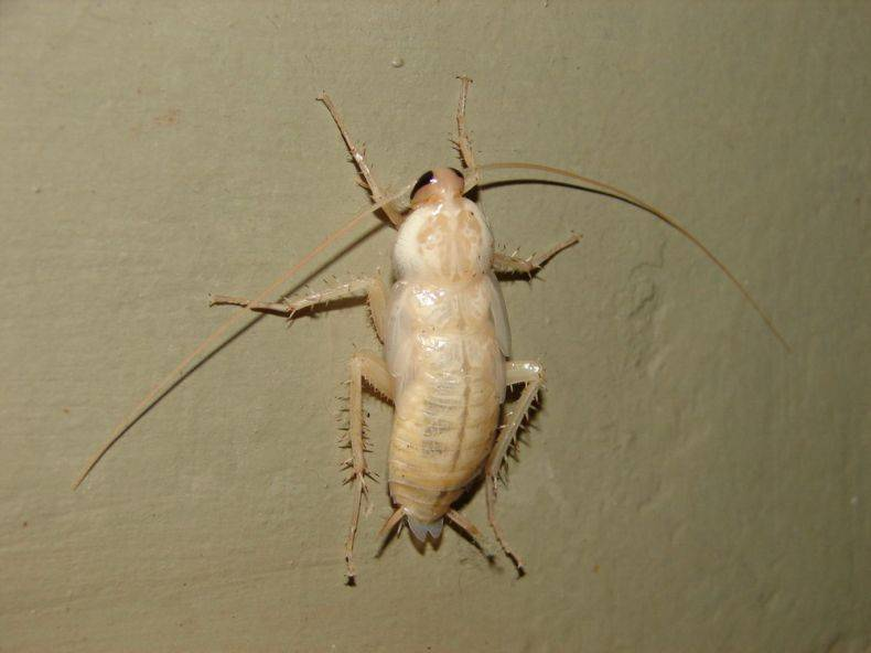 Где тараканы обычно прячутся в квартире и могут ли они ползти из канализации? белые тараканы или страшный мутант тараканы мутанты