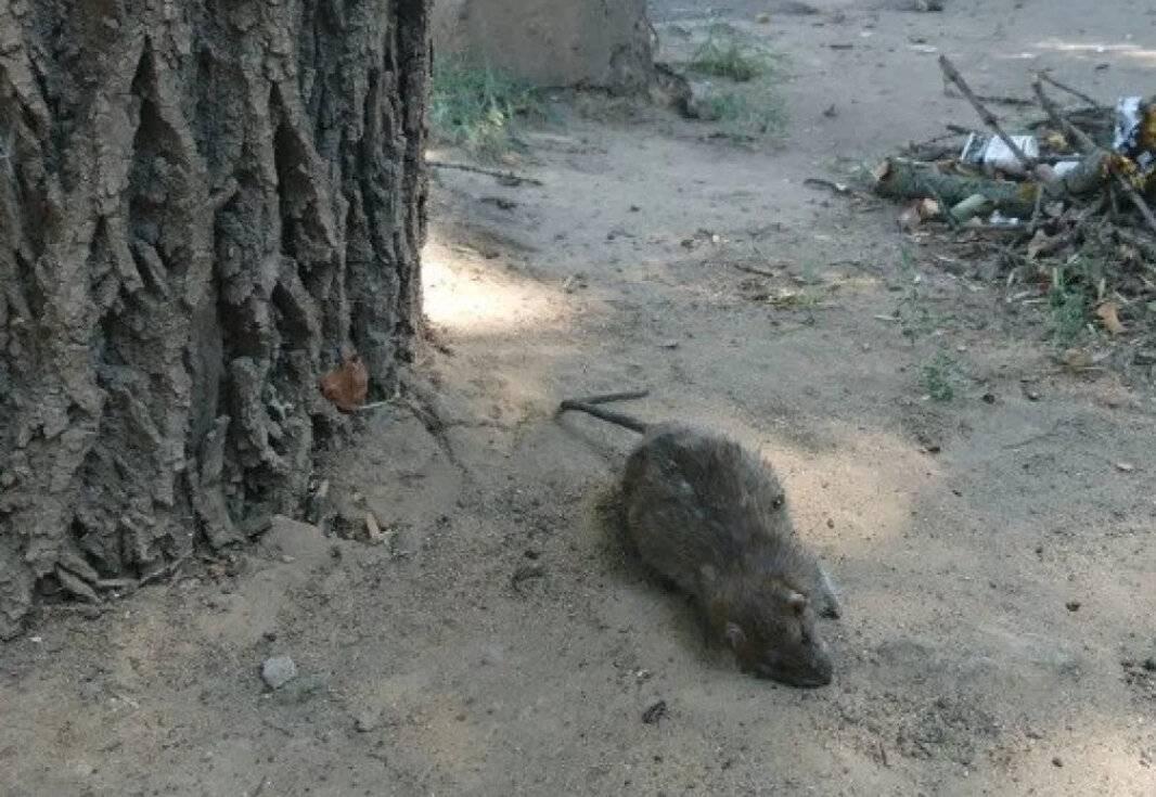Мы одной крови. почему крысы– идеальные помощники учёных