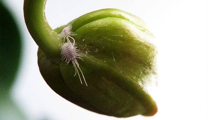 Мучнистый червец на орхидее: как избавиться от вредителей и средства для лечения