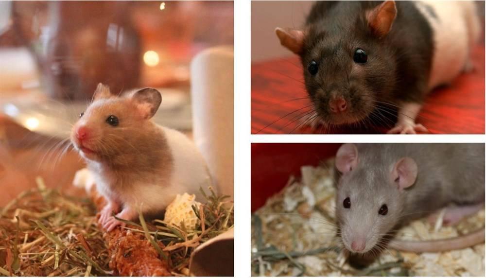 Боятся ли крысы хлорку
