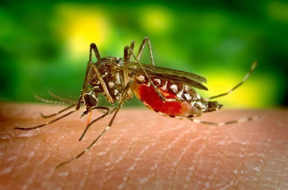 Почему комары пьют кровь и зачем она им нужна?
