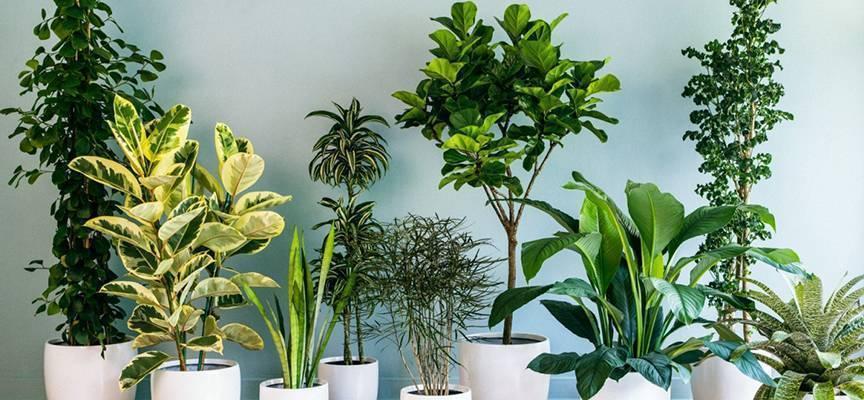 Мучнистый червец на комнатных растениях — как бороться
