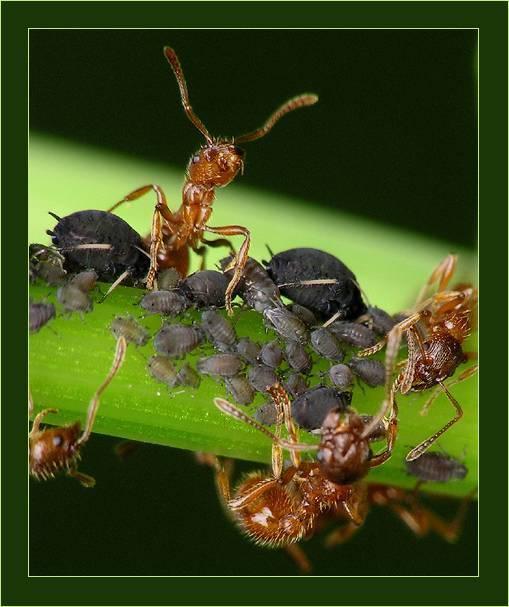 Симбиоз муравьев и тли. взаимовыгодные отношения в природе.