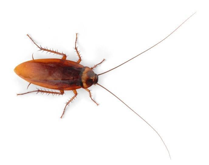 Американский таракан, путешественник среди насекомых