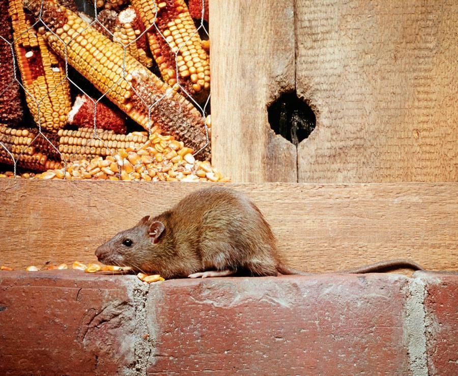 Вид грызуна – серая крыса