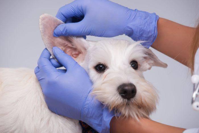 Ушной клещ у собак, лечение ушного клеща