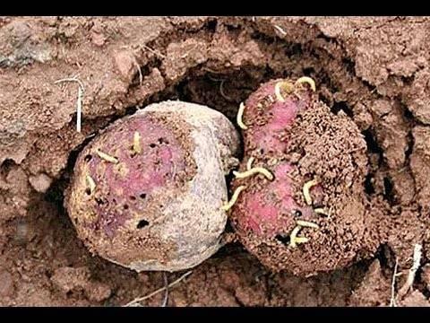 Кто такой проволочник в картошке и как избавиться от него на участке?