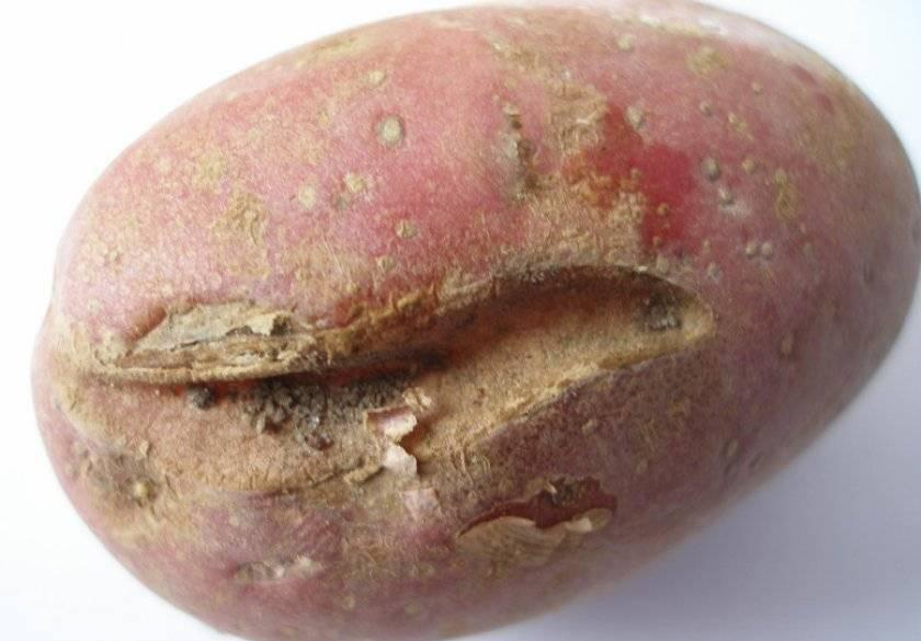Признаки заражения картофельной нематодой и меры борьбы с вредителем