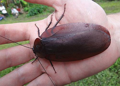 Яйца тараканов