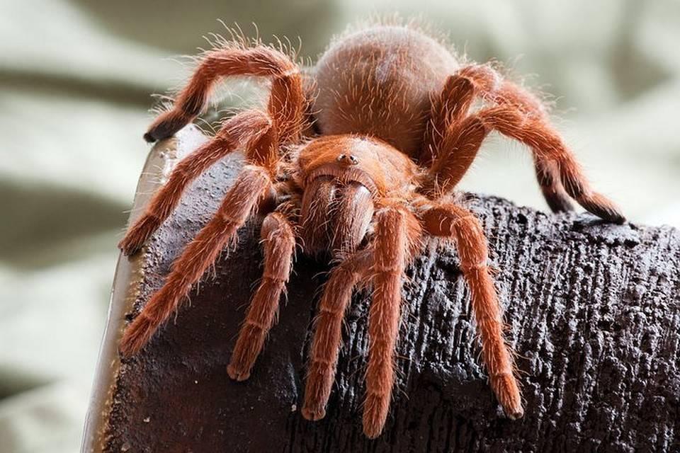 Какой самый большой паук в мире?
