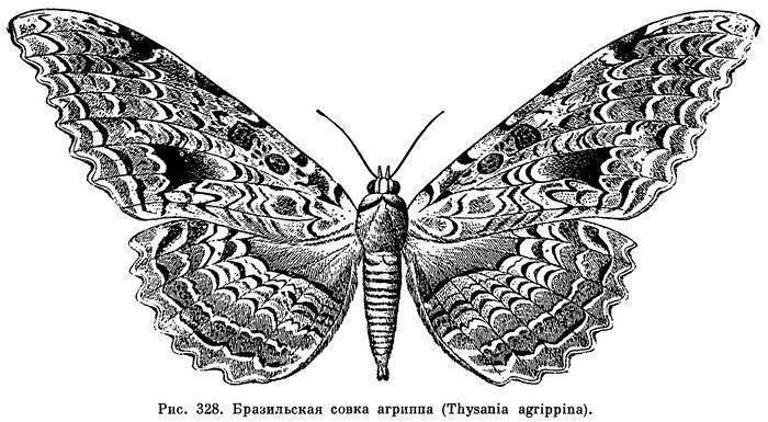 Бабочки отряд чешуекрылые