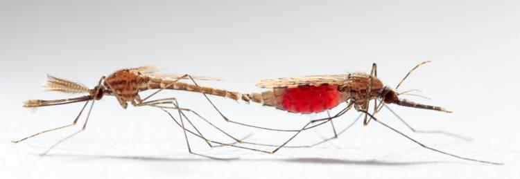 Комар – описание, чем питается, где обитает, размножение, фото. интересные факты о комарах, или за что уважать кровососа