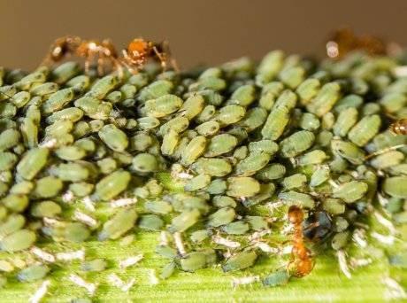Садовые муравьи и тля: как они связаны и как от них избавиться