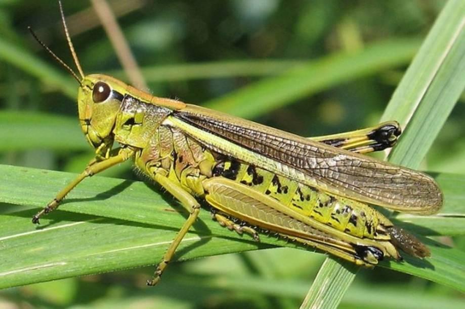 Для борьбы с саранчой используют. саранча — самый опасный вредитель мира растений. как выглядит вредитель