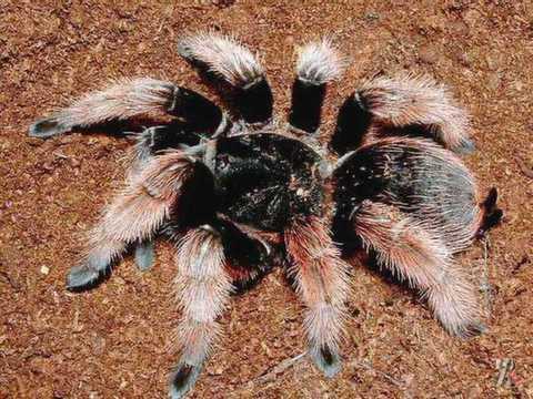 Тарантулы. необыкновенный паук тарантул и многообразие его видов паук тарантул характеристика и описание