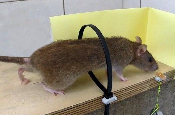 Грызут ли монтажную пену мыши: что говорят собственники?