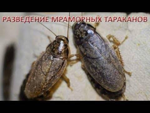 Какие виды тараканов могут жить в квартире