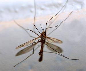 Жизненный цикл комаров: как они появляются на свет
