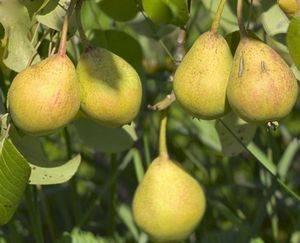 Грушевый цветоед и прочие вредители груш