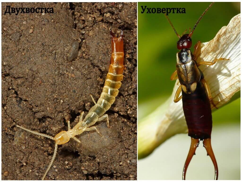 Ясеневая шпанка: описание и образ жизни жука-нарывника