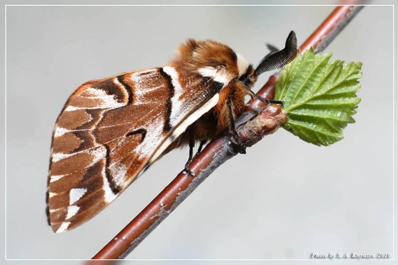 Краснокрылый тополёвый листоед