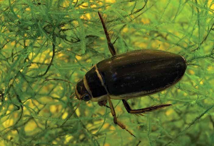 Является ли жук-носорог вредителем – спорный вопрос