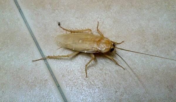 Белые тараканы альбиносы в квартире: от куда и чем опасны? как избавится от тараканов: лучшие средства
