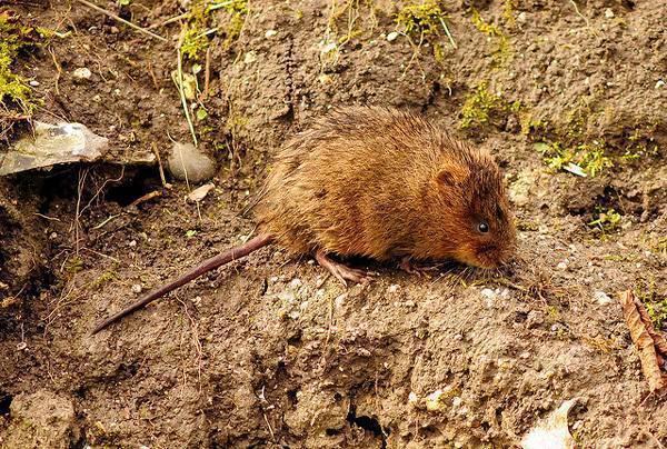 Как бороться с крысами на огороде: лучшие способы