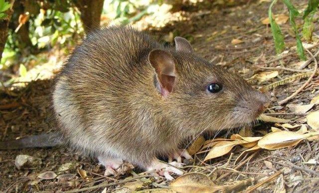 Самая большая крыса в мире – описание и особенности