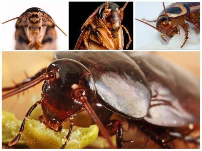Узнаем кусаются ли тараканы: в каких случаях и кого чаще могут укусить, чем опасны укусы для людей, фото
