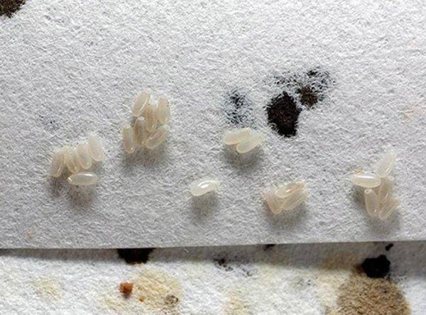 Как выглядят личинки постельных клопов и как от них избавиться