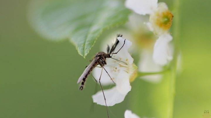 Образ жизни комара и его роль в природе