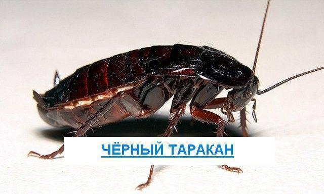 Большие чёрные тараканы: откуда они появляются в квартире и как от них избавиться