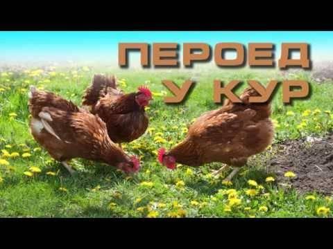 Пухоеды и пероеды у кур